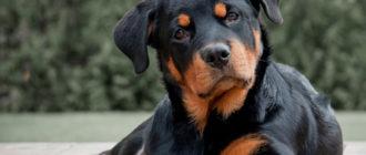 Ротвейлер: фото собаки, история породы, внешний вид и описание