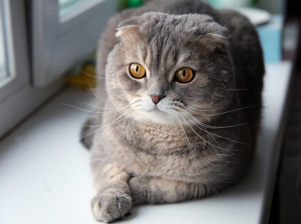 Вес и рост шотландского вислоухого котенка и взрослого скоттиш-фолда