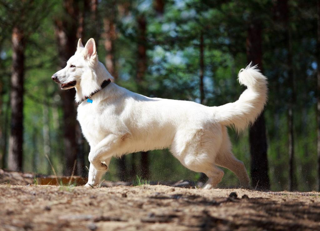 Швейцарская овчарка - Абсолютно белая!