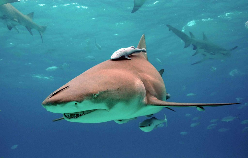 Рыба-прилипала: доводим акулу до нервного срыва