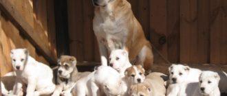 Среднеазиатская овчарка по месяцам: фото, размеры, физиология