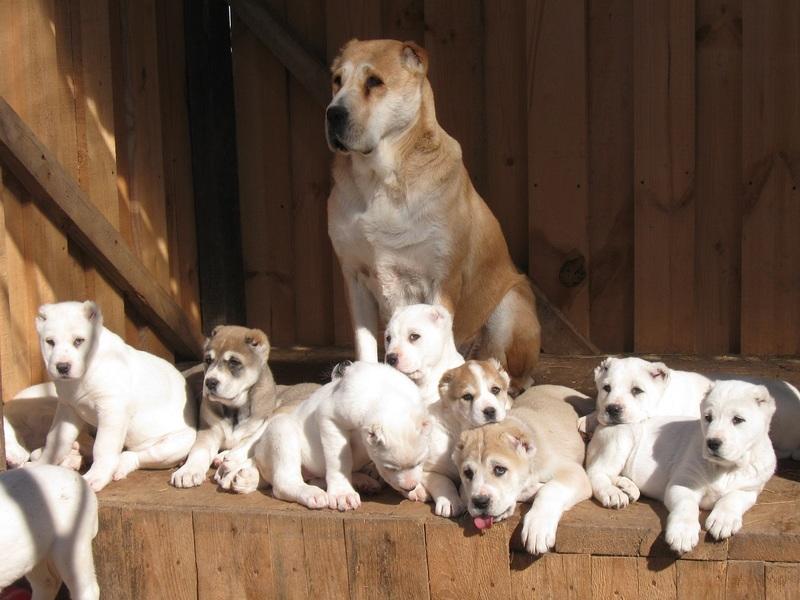 Развитие щенка среднеазиатской овчарки (Алабая) [фото и габариты по месяцам]