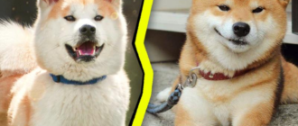 Акита-ину и сиба-ину: фото, описание пород, сходства и различия