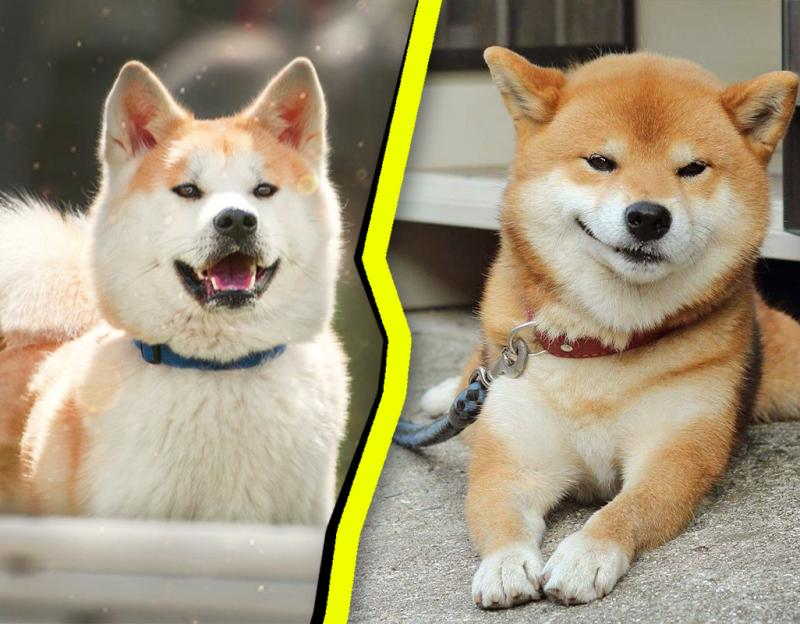 Акита-ину и сиба-ину: лиса в теле собаки и её уменьшенная копия
