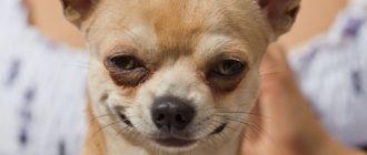 Чихуахуа: фото собаки, описание породы, характер и уход