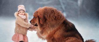 Тибетский мастиф: фото собаки, история породы, особенности