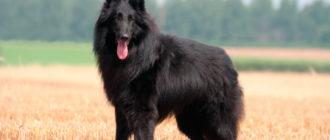 Грюнендаль: фото собаки, история породы, характер, содержание