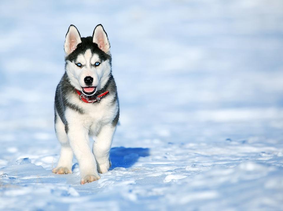 Самая фотогеничная порода собак - Сибирский хаски