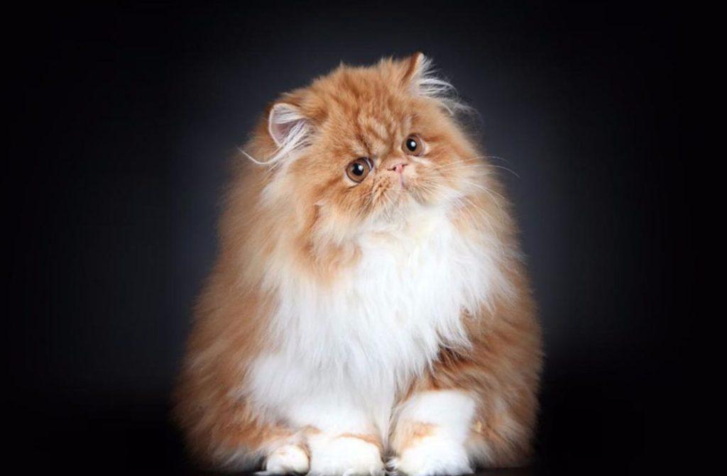 Названы самые популярные породы кошек 2019 года