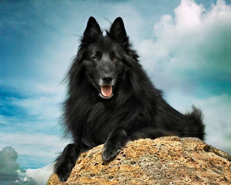 Чернее Черной Черноты - Бельгийская овчарка Грюнендаль