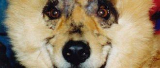 Гуччи: собака борец за права животных, история и результат
