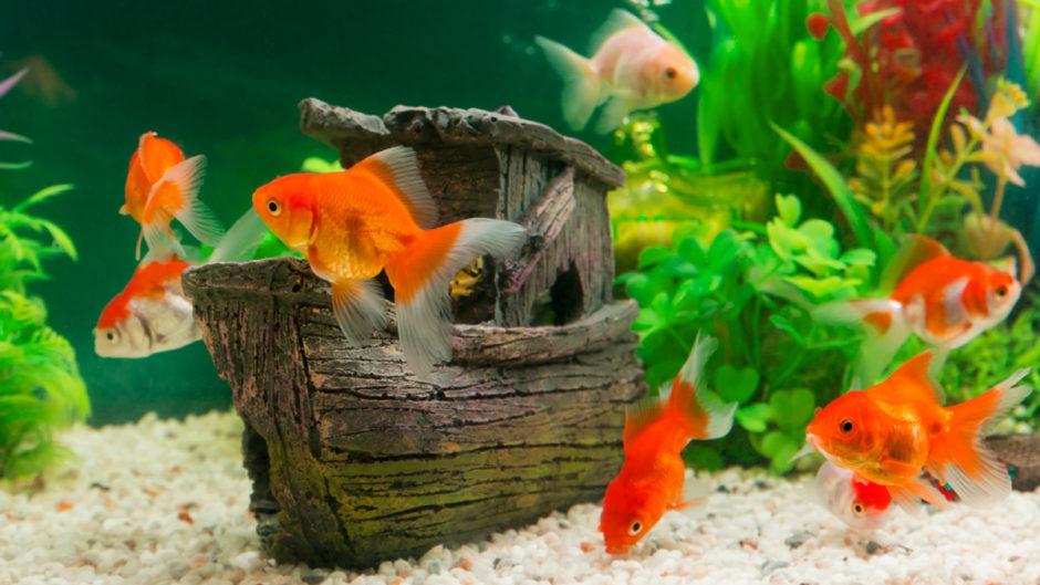 """""""Тормоза"""" или скрытые гении? Поговорим об интеллекте аквариумной рыбки"""