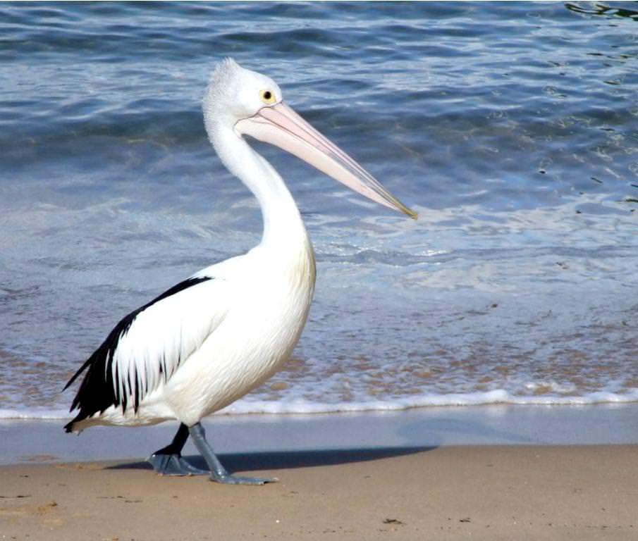 """""""Это – птица великан, под названьем Пеликан"""""""