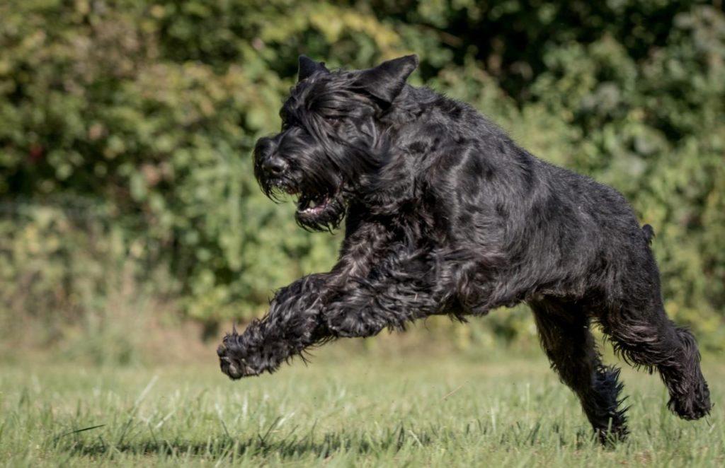 Модная чёлка и стильная борода - порода собак Ризеншнауцер