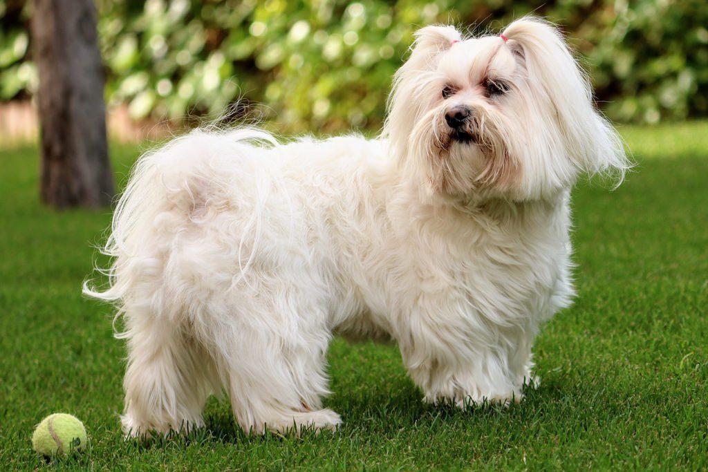 Комочки счастья: Породы маленьких пушистых собак