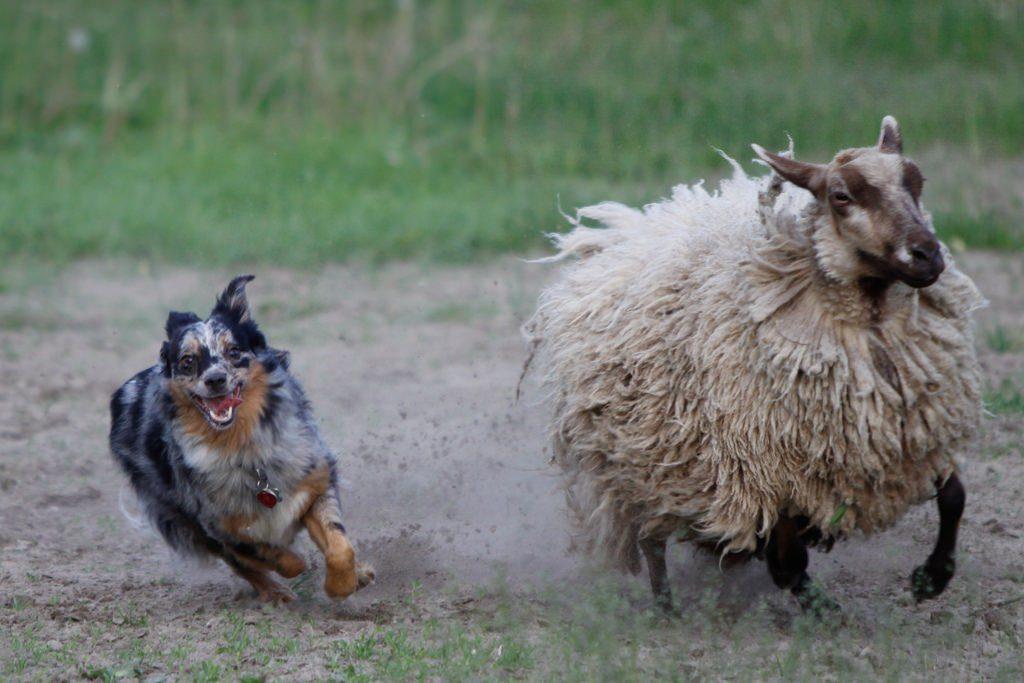 Красота, ум и бесконечная преданность: Австралийская овчарка