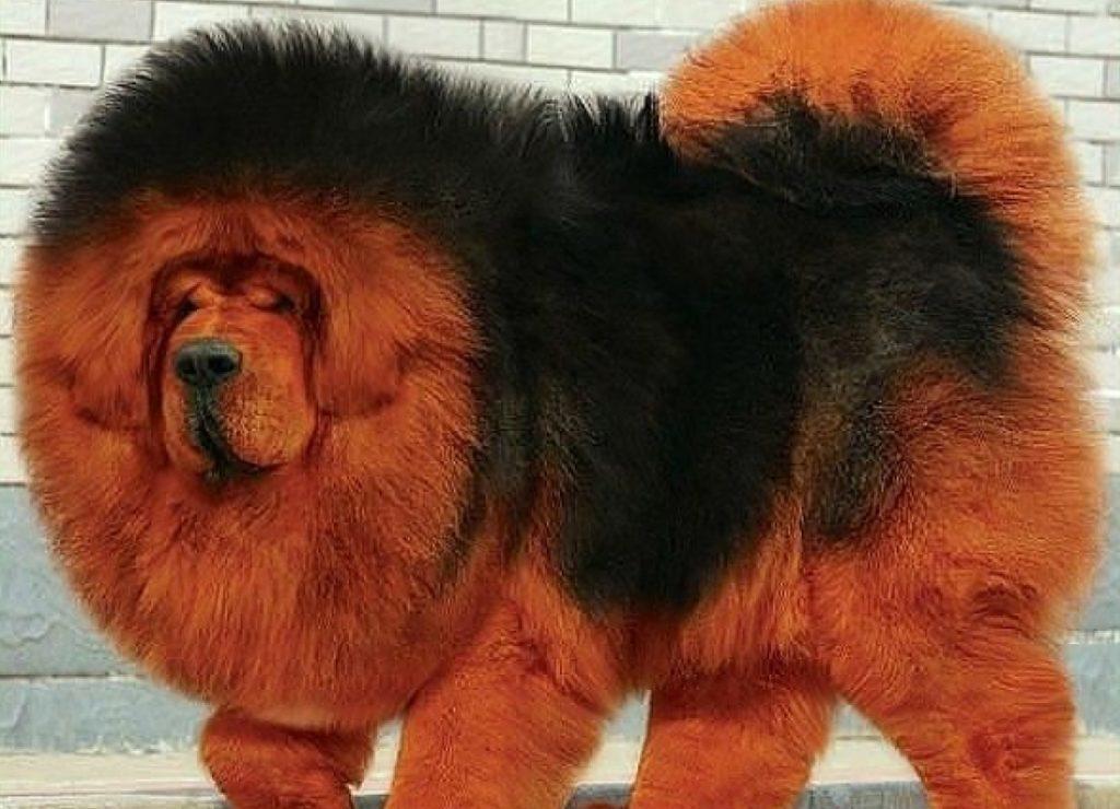 Домашние сторожевые медведи: что за собаки такие - Тибетские мастифы
