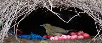 Шалашник: фото птицы, внешний вид, описание, особенности