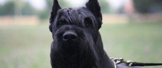 Ризеншнауцер: фото собак, описание породы, питание и уход