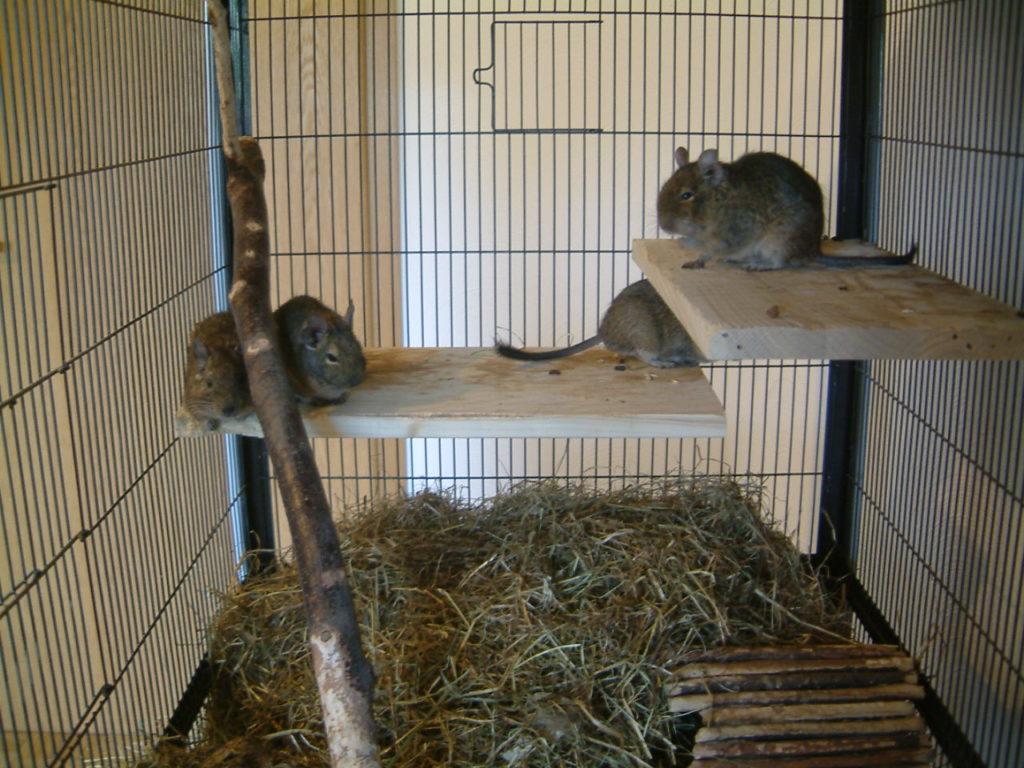 Белочка дегу: заморская сестрёнка тушканчика и шиншиллы