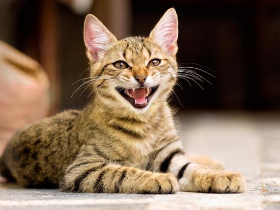 Мяу-Мио-Мя: Как мяукают кошки в разных странах