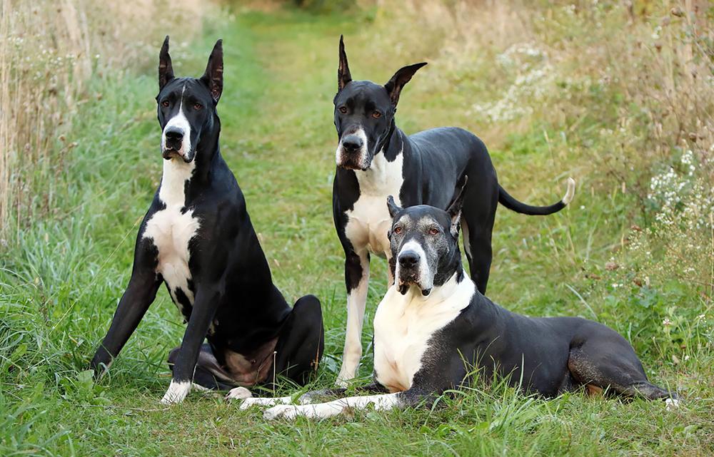 Немецкий Дог: Настоящие собаки-гиганты