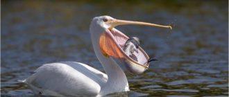 Пеликан: фото птицы, внешний вид, особенности, питание
