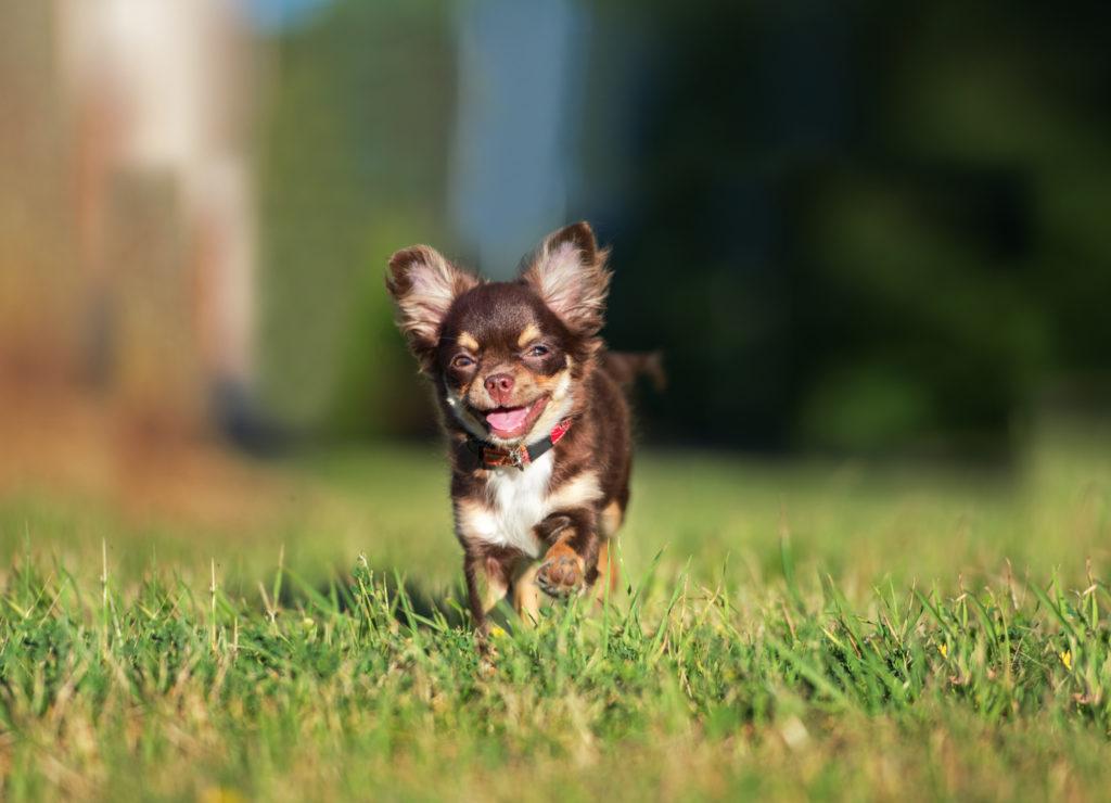 Воплощение зла, или милейшее маленькое существо? Порода собак Чихуахуа
