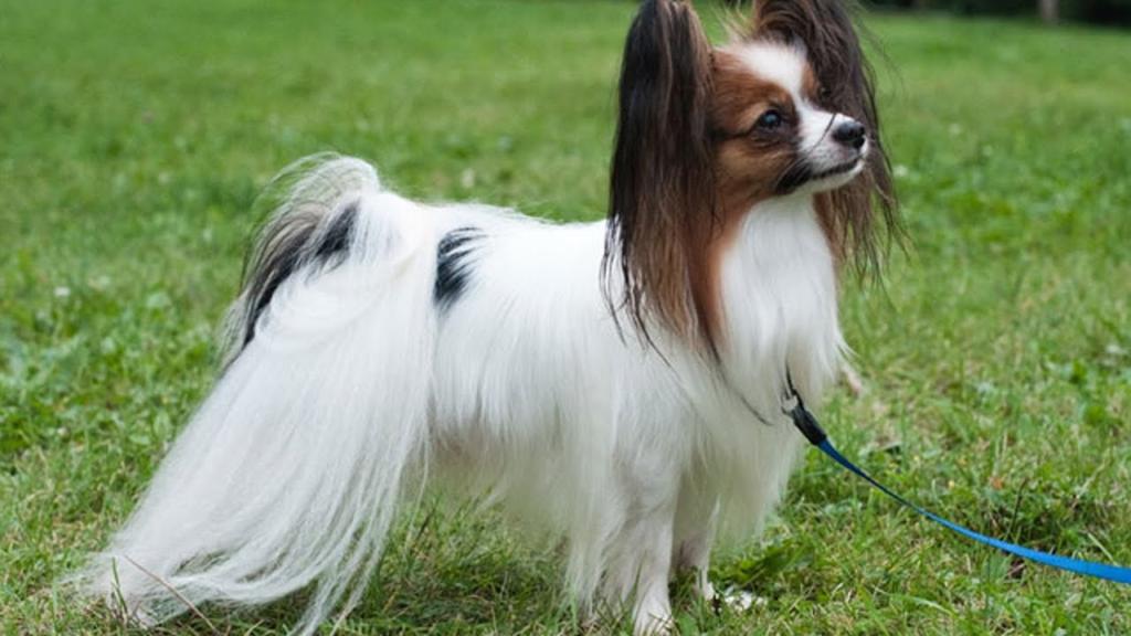 Собаки интеллектуалы: ТОП 10 Самых умных пород собак