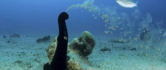 Морской огурец: фото, внешний вид, особенности питания