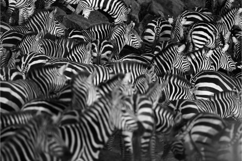 Зебра: белая в черную полосу, или черная в белую полосу?