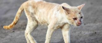 Скорая кончина кошки: признаки, причины, что делать