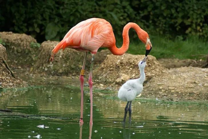 Почему фламинго стоит на одной ноге? +Другие интересные факты об этой птице