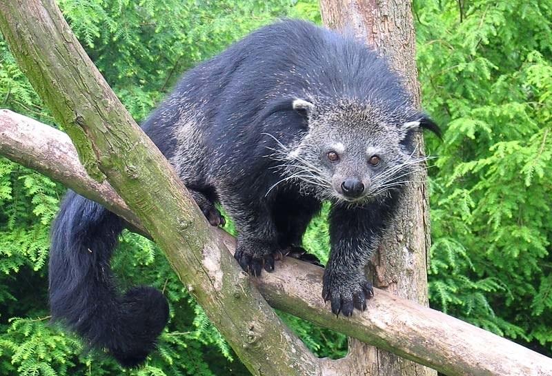 Бинтуронг: Как кото-пёс - только медведокот