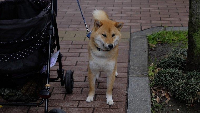 Хуже ослов: Самые упрямые породы собак