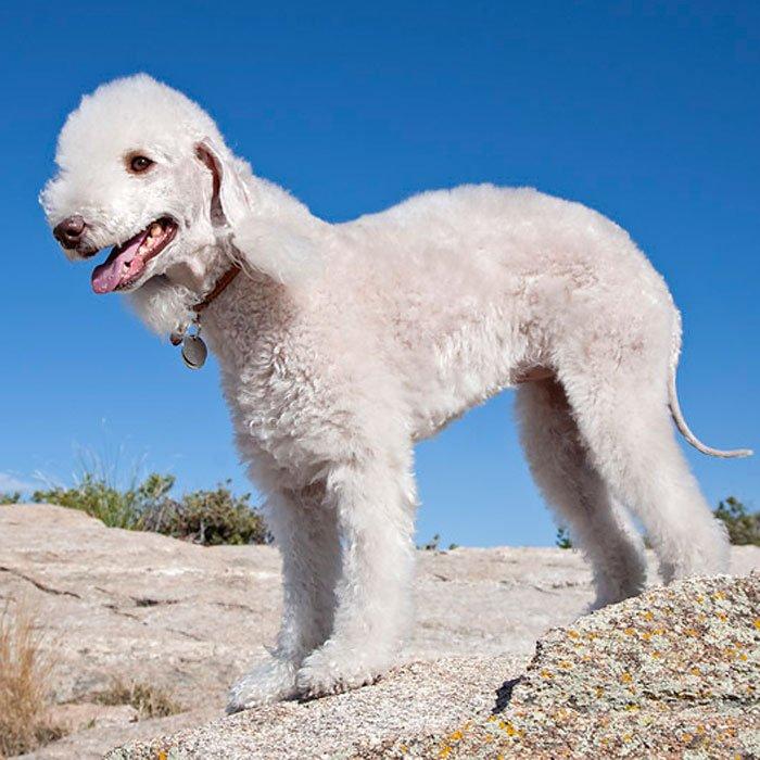 Самые редкие и самые верные: редчайшие и исчезающие породы собак