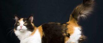 Манчкин: фото кошек, описание породы, внешний вид и особенности
