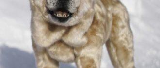 Смуф: фото собаки, описание породы, внешний вид и особенности