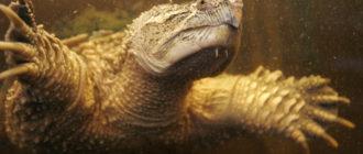 Каймановая черепаха: фото, внешний вид, ареал обитания
