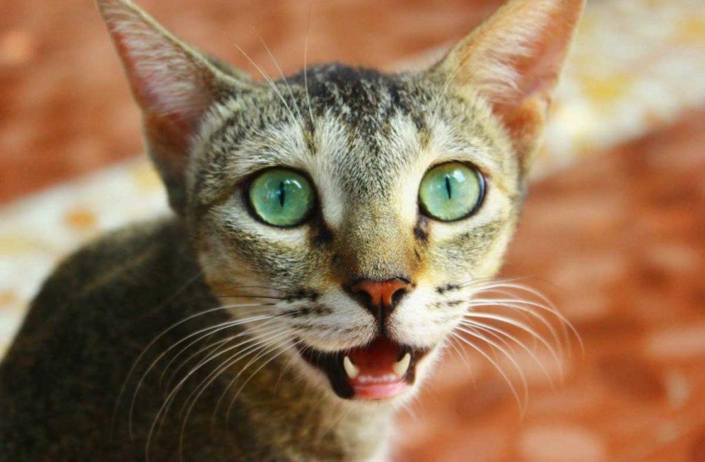 Норма поведения, или патология? Почему кошка дышит с открытым ртом?
