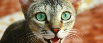 Кошка дышит с открытым ртом: причины, опасность, что делать