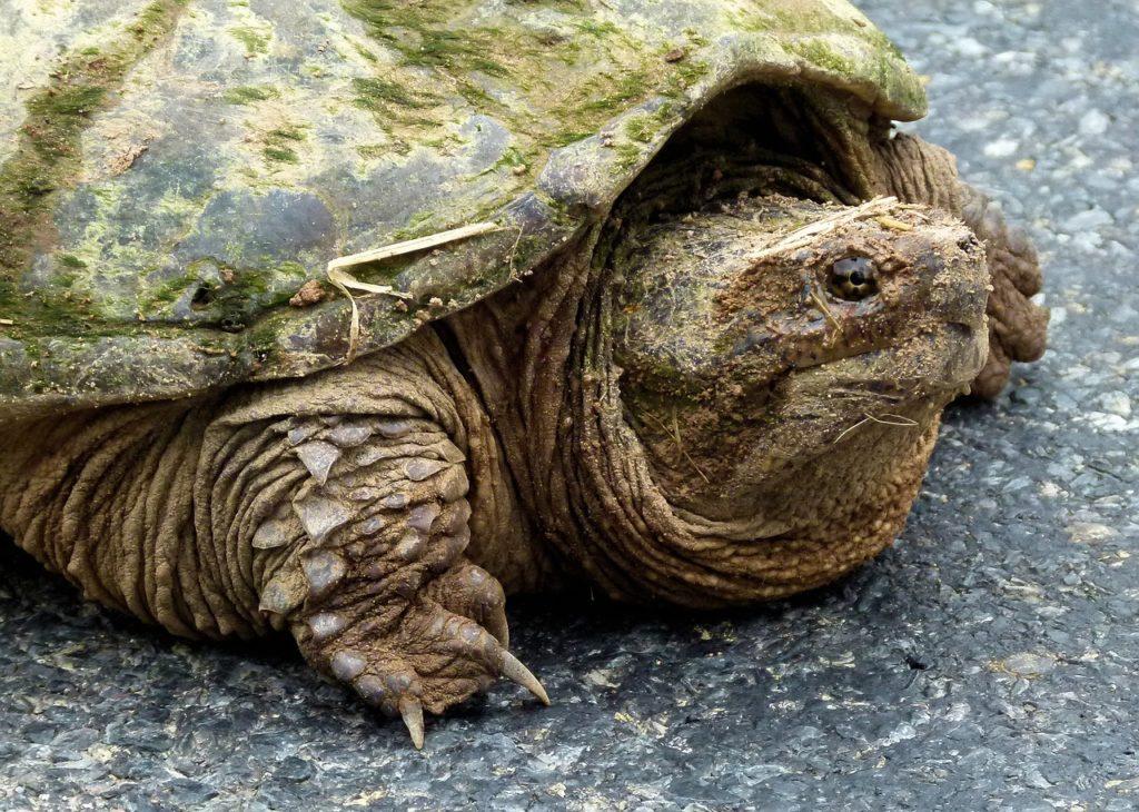 Она не против откусить вам что-нибудь: Каймановая черепаха