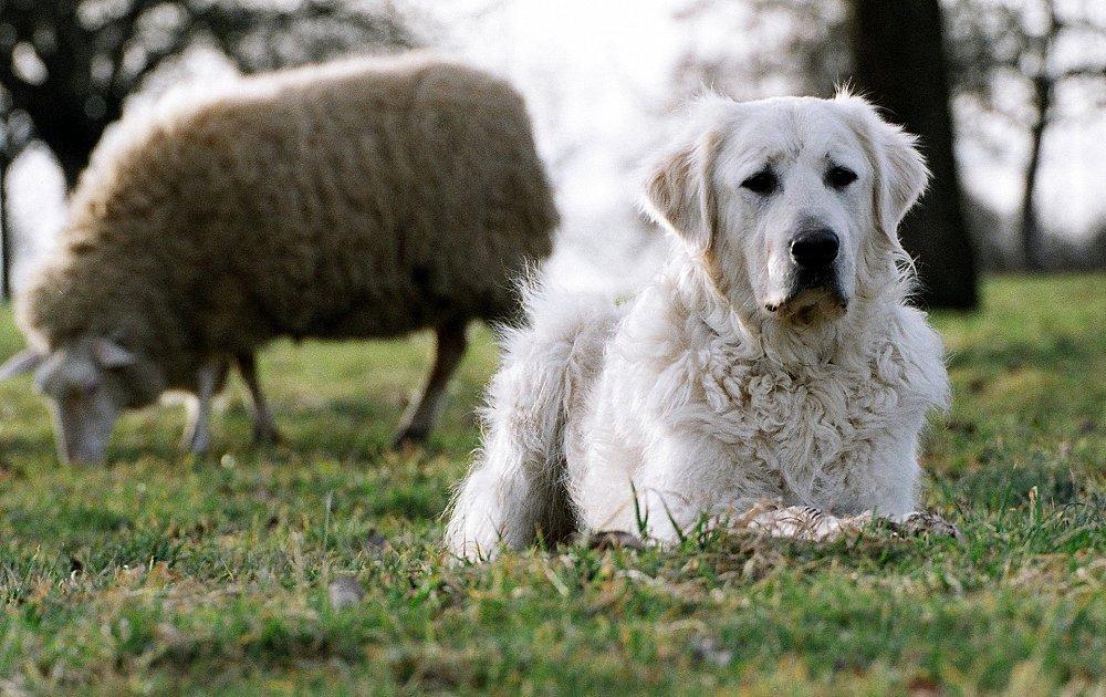 Собака в овечьей шкуре - неотразимый Кувас