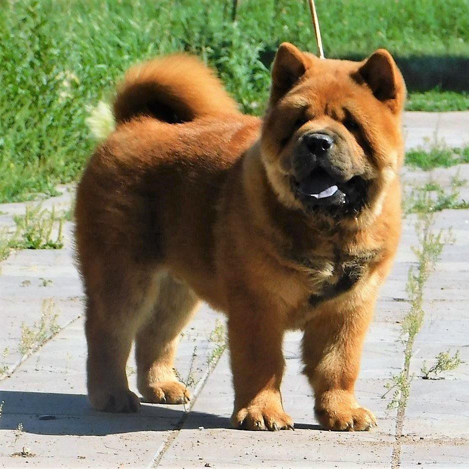 Почти как Смурфики: Собаки породы Смуф - короткошерстный плюшевый чау-чау