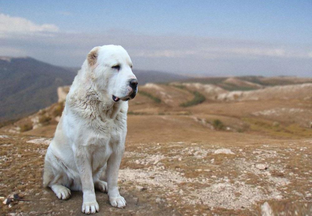 Невозмутимый гигант на страже вашего дома: Собака породы Алабай