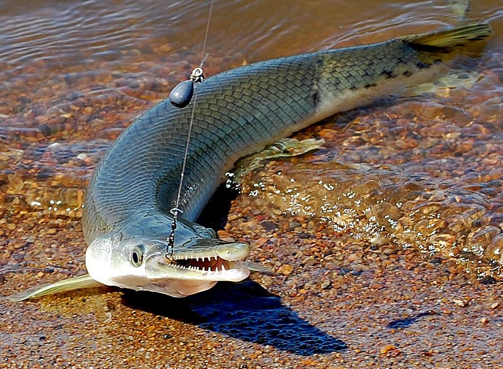 2 фобии в одной рыбе: Щука-аллигатор