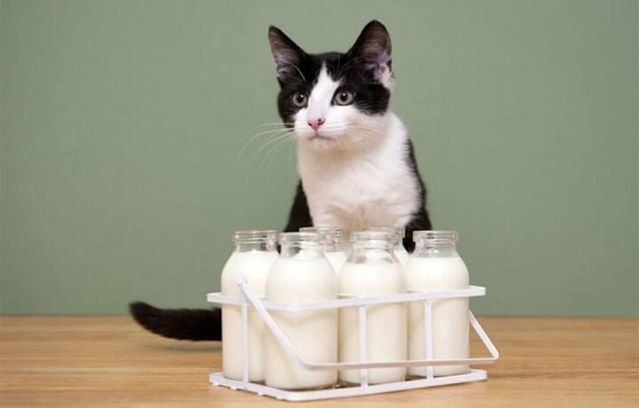 Почему кошкам вредно молоко и что с этим делать?
