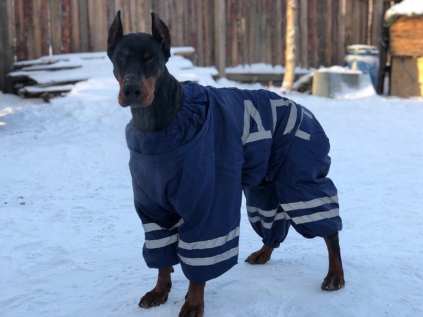 Добрая «собака дьявола»: неотразимый Доберман
