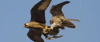 Сапсан: фото птицы, внешний вид, поведение, питание и размножение