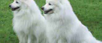 Немецкий шпиц: фото собак, внешний вид породы, уход и содержание